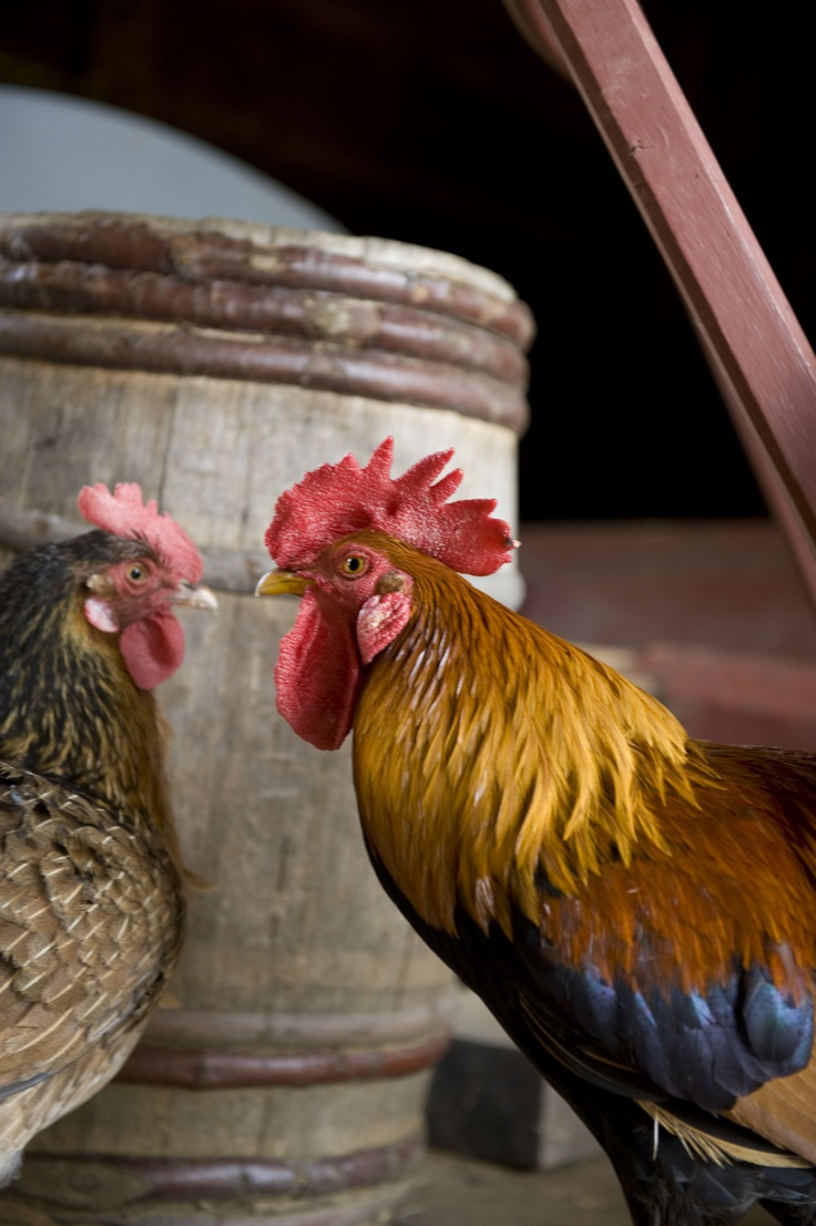 Rooster and Hen at Old Sturbridge Village Roosters Hens Chicks, Farm ...