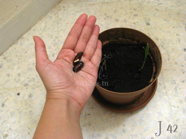 Faire pousser les graines de dattes