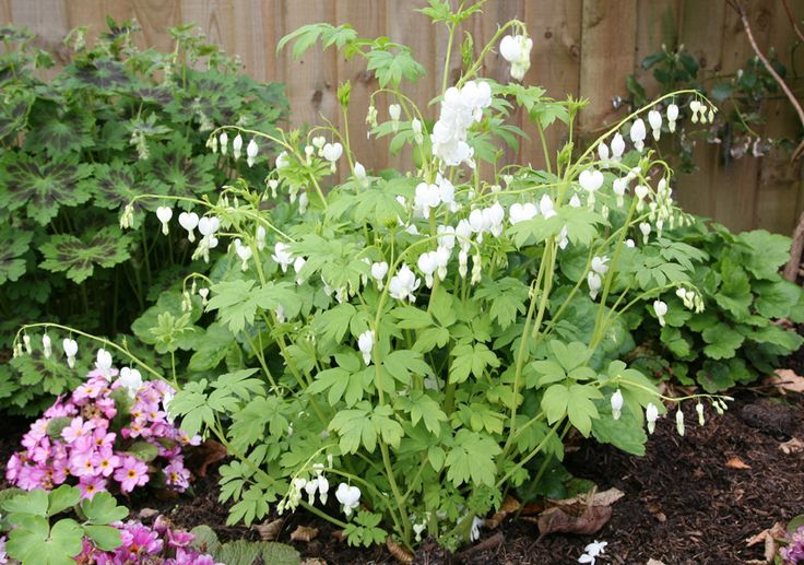 Dicentra spectabilis 'Alba' / white Bleeding Heart plant.  Flowers April to May