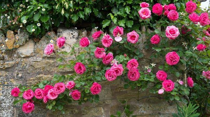 Popínavé ruže sa ťahajú k slnku, preto ich treba vyväzovať horizontálne