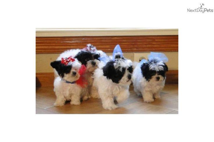 Video of a cute Malti Poo Maltipoo puppy for sale. TINY TEACUP RARE PARTI Maltipoo! Blk & WHT!