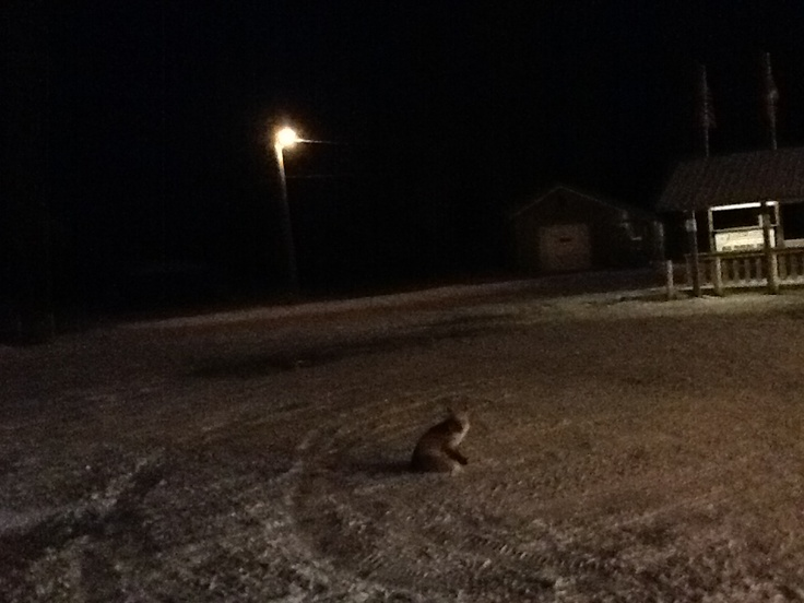 A fox beside my truck