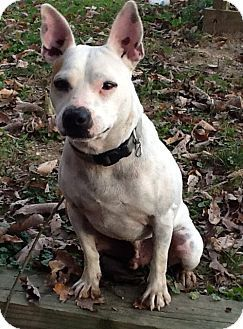 ALERT EUTH LIST!!!!  Morehead, KY - French Bulldog/Jack Russell Terrier Mix who is Deaf. Frenchie* weights 25 lbs. and is around 3yrs. old.  He loves to be in your lap and cuddle.  He gets along with other dogs and is all around a wonderful baby to add to your family.   Euth alert! SPONSORED a Dog for Adoption.