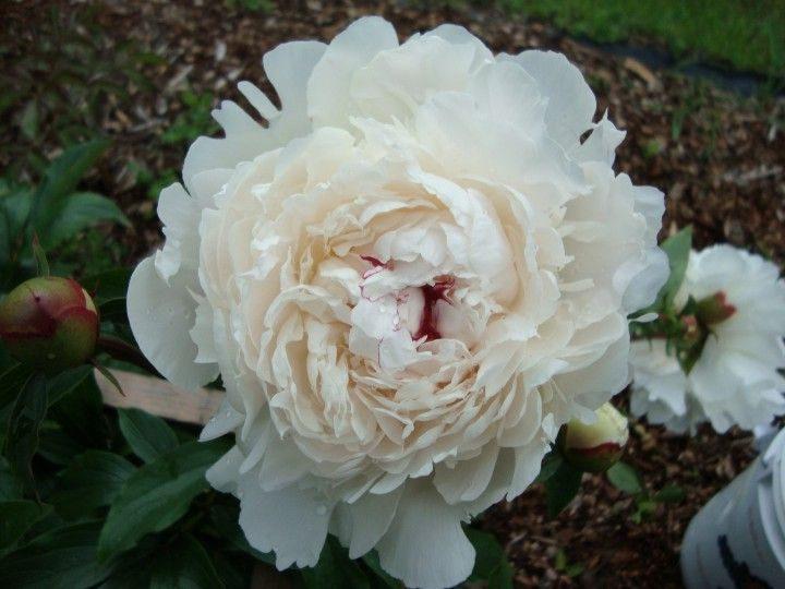 Festiva Maxima - Peonies For Sale at Dutch Girl Peonies, BC, Canada