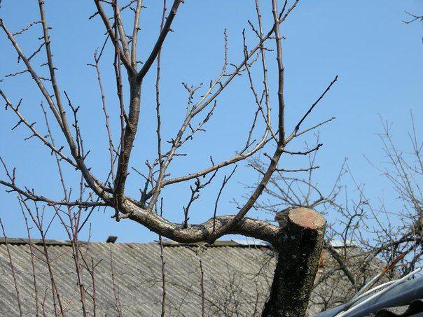 Как омолодить старые деревья