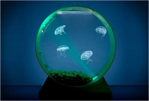 Ein stylishes Heimaquarium für Quallen. (Moon Jellyfish & Tank)