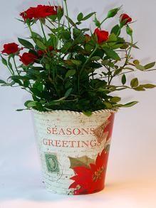 Season's Greetings Tin  traditional Christmas images with season;s greetings! filled with flowering mini-roses! http://www.summerhillnurseries.com.au/www/content/default.aspx?cid=1803&fid=670