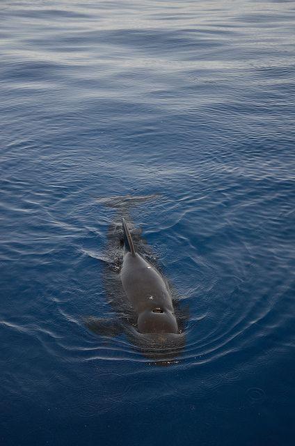Globicéphale noir // Mer des Baléares