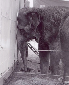 Look at this MISERABLE elephant!!! Reasons why you should NEVER go to the circus. The circus is advertised as a family event, but there is nothing wholesome about it.