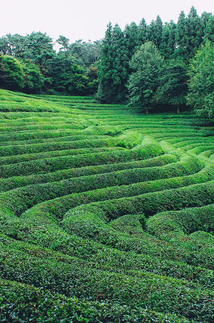 Escape the big cities, and head to the Boseong Green Tea Fields for some nature, some hiking, and green tea EVERYTHING.