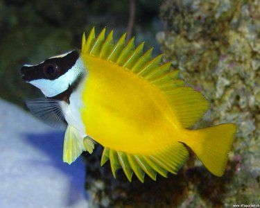 fox faced rabbit fish | Foxface Rabbitfish, (Siganus vulpinus) Species Profile, Foxface ...
