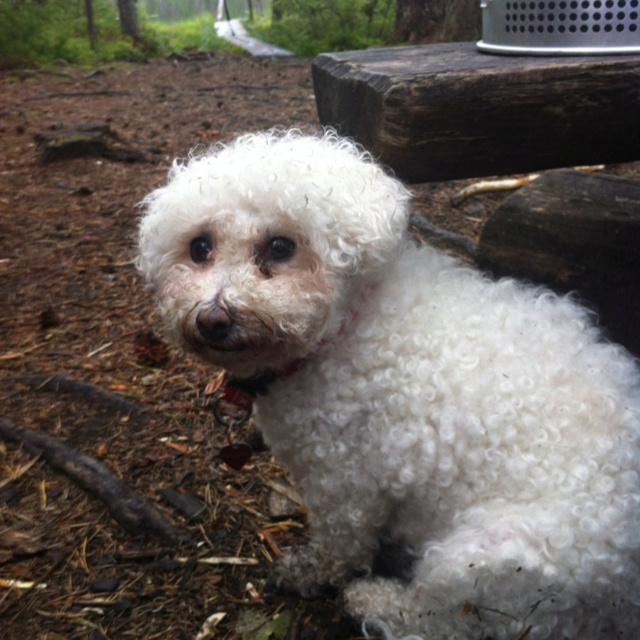 National parks are not for poodles, Claudia wants to go home! #dog #wild #seitseminen