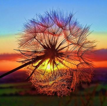 dandelion in the sunset in Tuscany, Italy . Make a wish!