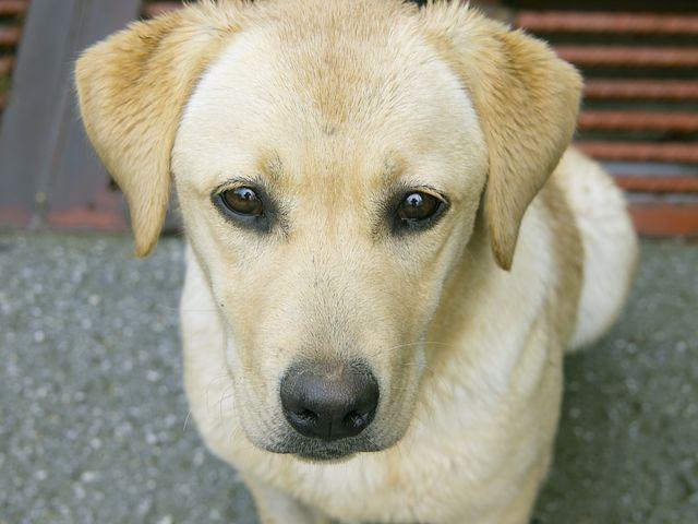 Labrador Puppies Vancouver Bc Mush Have Labradororlabradoodle