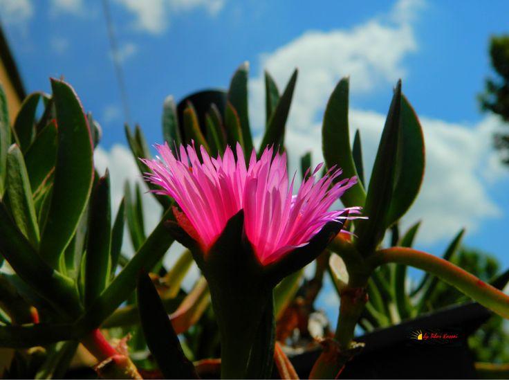 Carpobrotus edulis, my balkony, Nikon Coolpix L310, 8.4mm, 1/400s, ISO80, f/10.2, -1.0ev, HDR photography, 201706111359