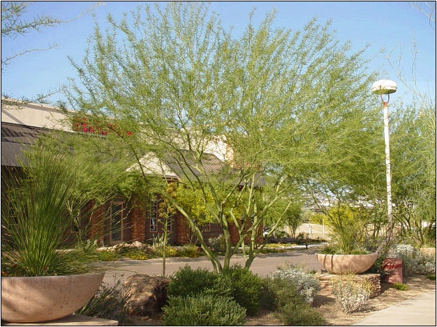 Arizona Landscaping: Desert Museum Palo Verde; What a tree!