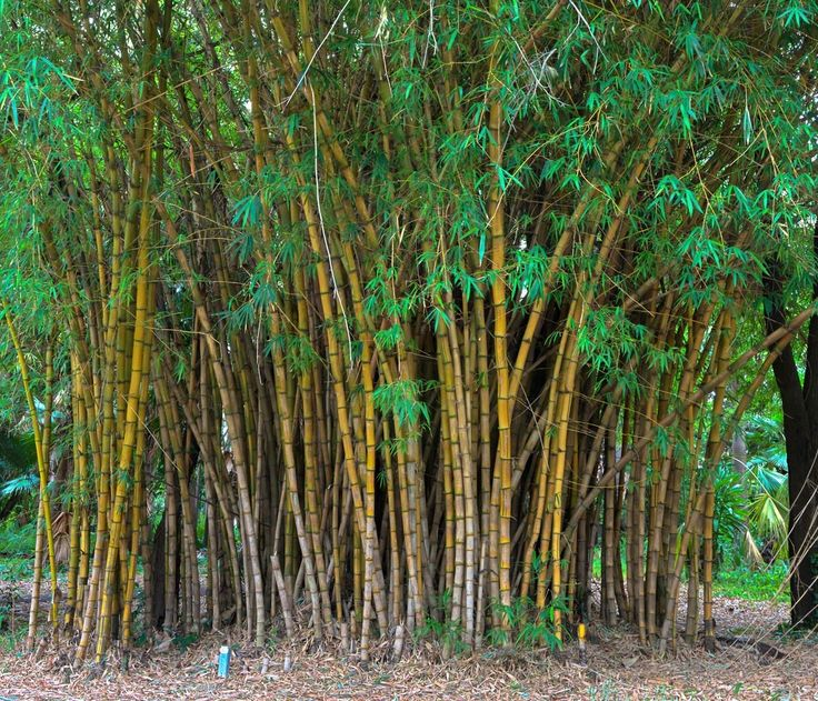 133 Best Bamboo Images On Pinterest Bamboo Bamboo Garden And Plants - bamboo plants garden design
