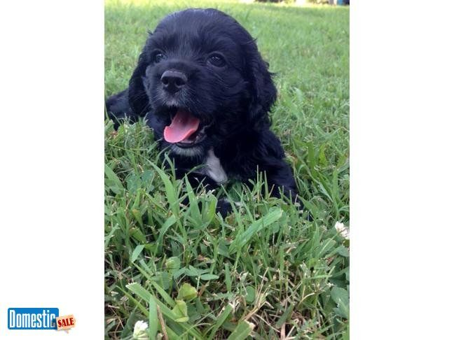 Full Blooded Cocker Spaniel Puppies For Sale ONLY 2 LEFT Darling little Cocker Spaniel Puppies For Sale There are 2 females available~ One female is black and white; The other ...