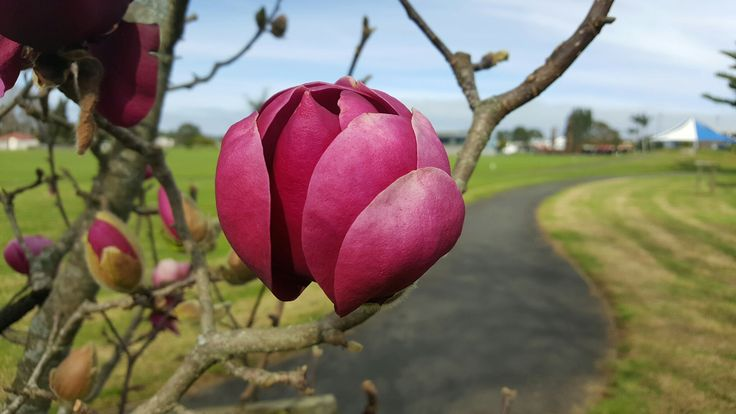 Just sitting on the main street of Kerikeri taking a break from the office while the sun is out... saw this beautiful magnolia in the park as i walked by.
