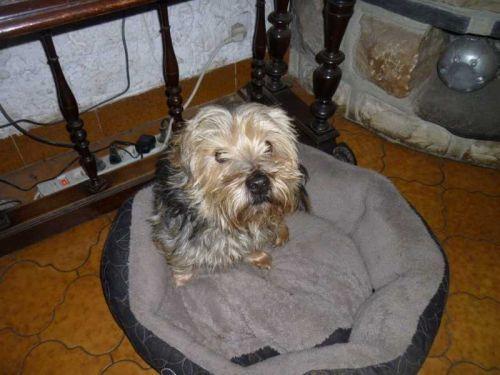 TOOBEE   Type : Yorkshire Terrier Sexe : Mâle Age : Adulte Couleur : Bleu et blanc  Taille : Moyen Lieu : Loir-et-Cher - 41 (Centre)  Refuge :  Teckels sans doux foyer (Loir-et-Cher)  Tél : 06 16 64 40 98-OU- 09 60 36 07 19                        mâle NON LOF  NE(E) LE :01.04.2009