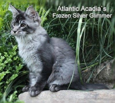 Maine Coon, black silver ticked (ns 25) D Atlantic Acadia`s Frozen Silver Glimmer