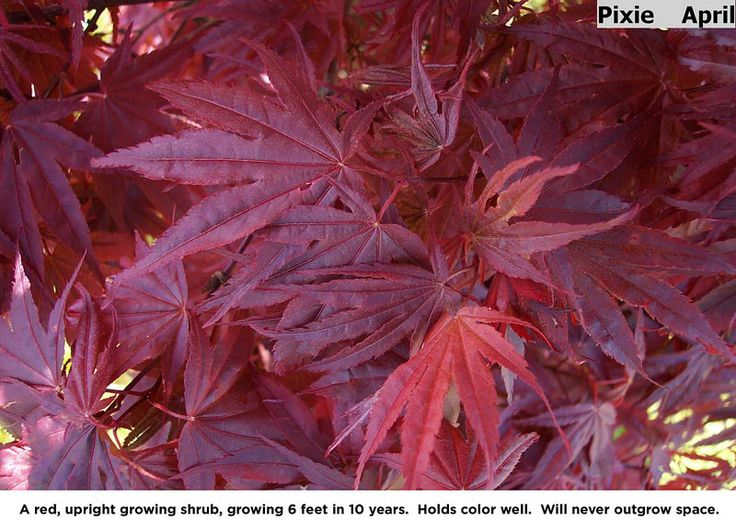 Pixie a red upright growing shrub 6 feet in 10 years holds color well will never outgrow the - Upright trees for small spaces concept ...