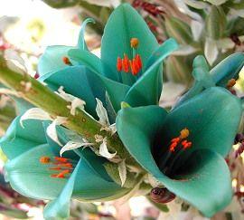 Turquoise Puya berteroniana  - want!  So pretty :)