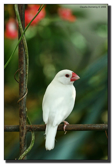 A white Zebra Finch (Taeniopygia guttata) at Key West Butterfly Nature Conservatory in Florida.  The Zebra Finch are native to central Australia, Indonesia and East Timor.  -kc