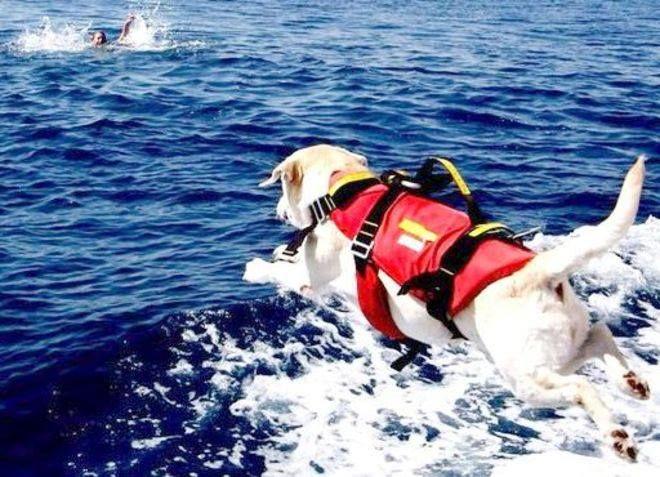 TRAINER & SICS PARTNER DELLA SICUREZZA IN MARE: VENEZIA - È stato Erasmo, un cane bagnino di razza labrador a diventare eroe per un giorno a Caorle (Venezia), dove ha soccorso e salvato in mare un ragazzino di 13 anni che stava annegando...