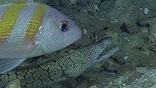 AAn oblique-banded snapper (Pristipomoides zonatus) and moray eel (Gymnothorax berndti).