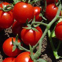 Wo Tomaten pflanzen? Nützliche Informationen und Hinweise › Tomaten-Welt