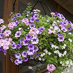 Today Im going to show you I keep our hanging baskets and container plants looking lush and beautiful all summer long. My secret? Its all in the watering. Hanging baskets and container plants dry out much more quickly than plants in the ground, so regular watering during the dry months