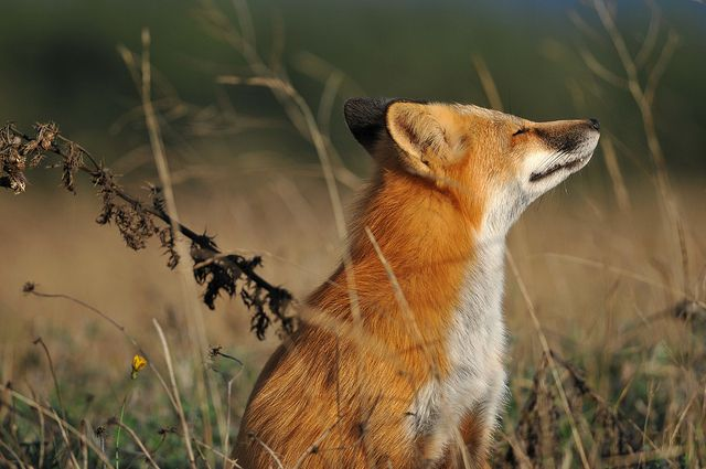 the snaggletoothed fox by matt knoth, via Flickr