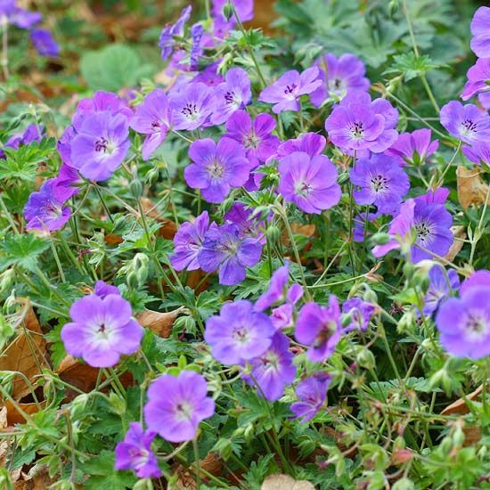 Rozanne Geranium blooms from late spring until the first frost.  This beautiful spreading perennial gives a mass of beautiful foliage.