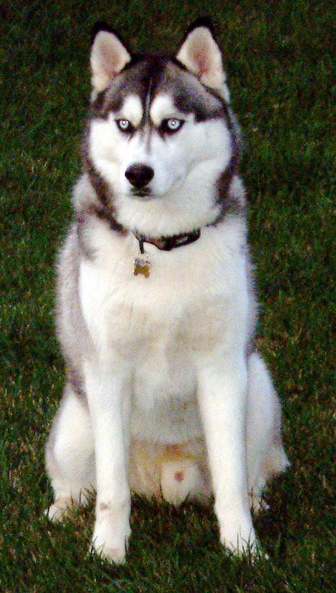 Everything About Agile Siberian Huskies Dogs Temperament