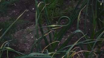 Keď sa začne krútiť: Pacibulky na jesennom cesnaku odstráňte