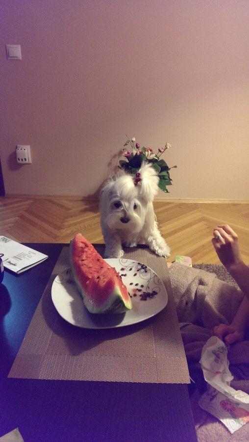 maltese - Small Dogs Club