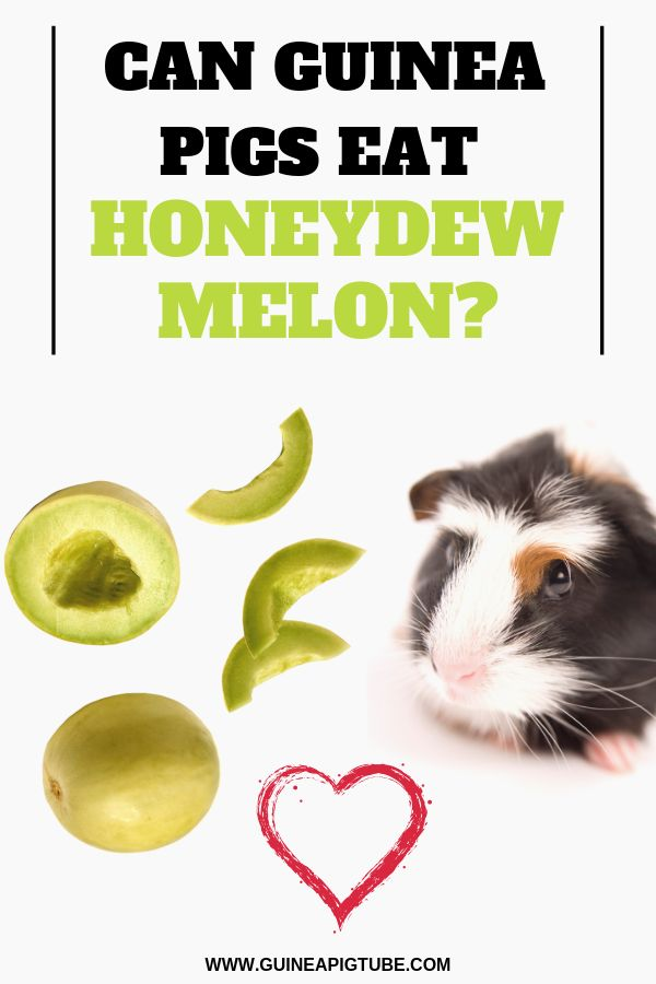 Can Guinea Pigs Eat Honeydew Melon Pig Food And T List Eating