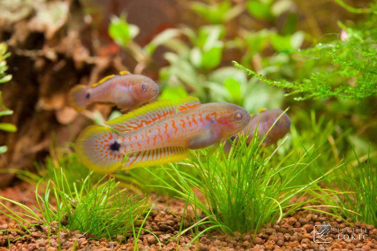 tateur tateurndina ocellicauda est un poisson d eau douce magnifique originaire de papouasie