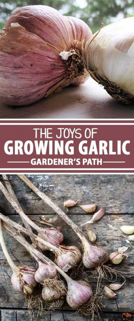 Are you a garlic lover? Try going your own at home! It's easy to get started and will save you a ton of money buying speciality varieties. Learn how to get going with this wonderful herb now!