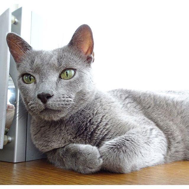 。.:*・゚ * ニャルソックを終え まったり・。・゚゚・ * 本日、珍しく夫婦揃って休み。 夫の力と車が使えるこの日を待っていた✨ ゴミ処理場に粗大ゴミを捨てに行くというデートしてきます🤣 * * * * #まったり#のんびり#のんびり休日 #ねこ#猫#cat#愛猫#russianblue#ペコねこ部 #ロシアンブルー#cute#lovemycat#みんねこ #猫と暮らす#猫のいる生活#にゃんすたぐらむ
