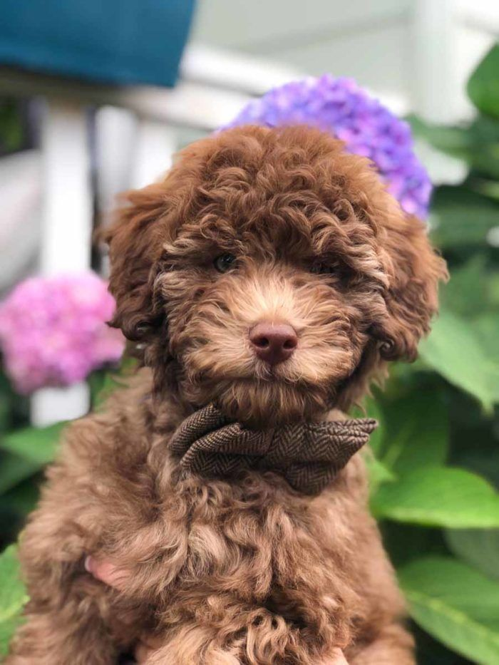 Reserve A Mini Doodle Dog Deposits Placing A Deposit For A Puppy Cuteteacuppuppies In 2020 Mini Doodle Doodle Dog Puppies