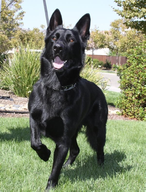 "black German Shepherd Hope you're doing well.From your friends at phoenix dog in home dog training""k9katelynn"" see more about Scottsdale dog training at k9katelynn.com! Pinterest with over 20,500 followers! Google plus with over 154,000 views! You tube with over 500 videos and 60,000 views!! LinkedIn over 9,200 associates! Proudly Serving the valley for 11 plus years"