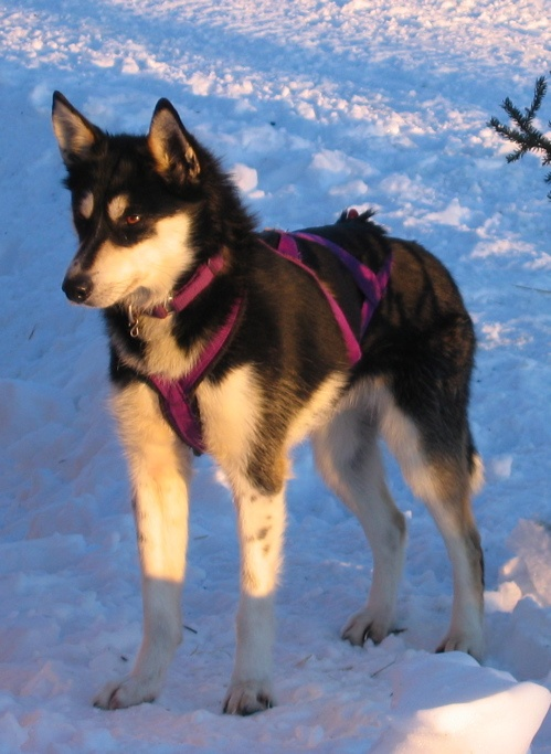 How to Take Care of an Alaskan Husky in 11 Steps