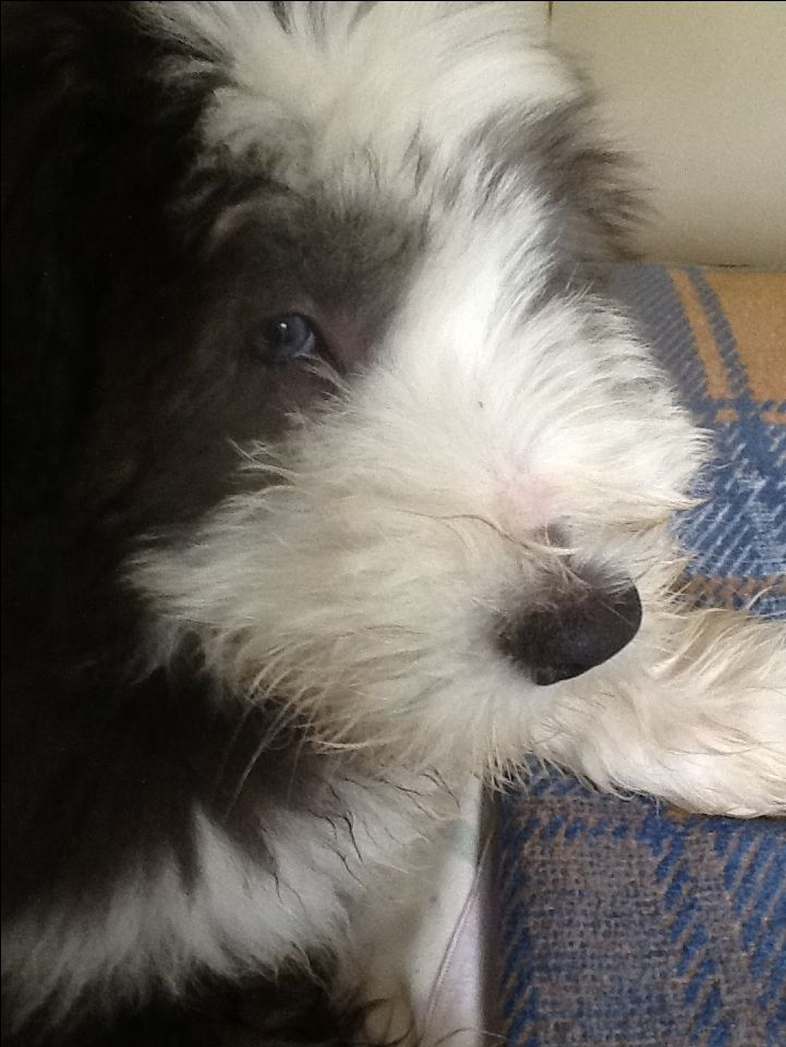 Baxter, my Bearded Collie, at 3 months.  ❤️❤️❤️