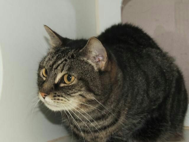 FIJI - A1096932 - - Staten Island  Please Share:*** TO BE DESTROYED 12/02/16 *** SECOND CHANCE!!  A volunteer writes: Fiji is such a sweetie pie! She is very calm and reserved, a real lady. She enjoys being spoken to, and she also likes being petted. The way she looks at you will melt your heart. Fiji's wish this holiday season is to be fortunate enough to be welcomed into the home of cat parents who know a thing or two about cats, and who would absolutely know how to