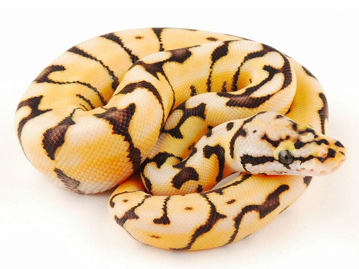 Bumble Bee Desert Ball Python
