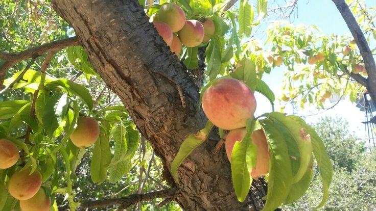 Peaches in Joosteswerwe's garden