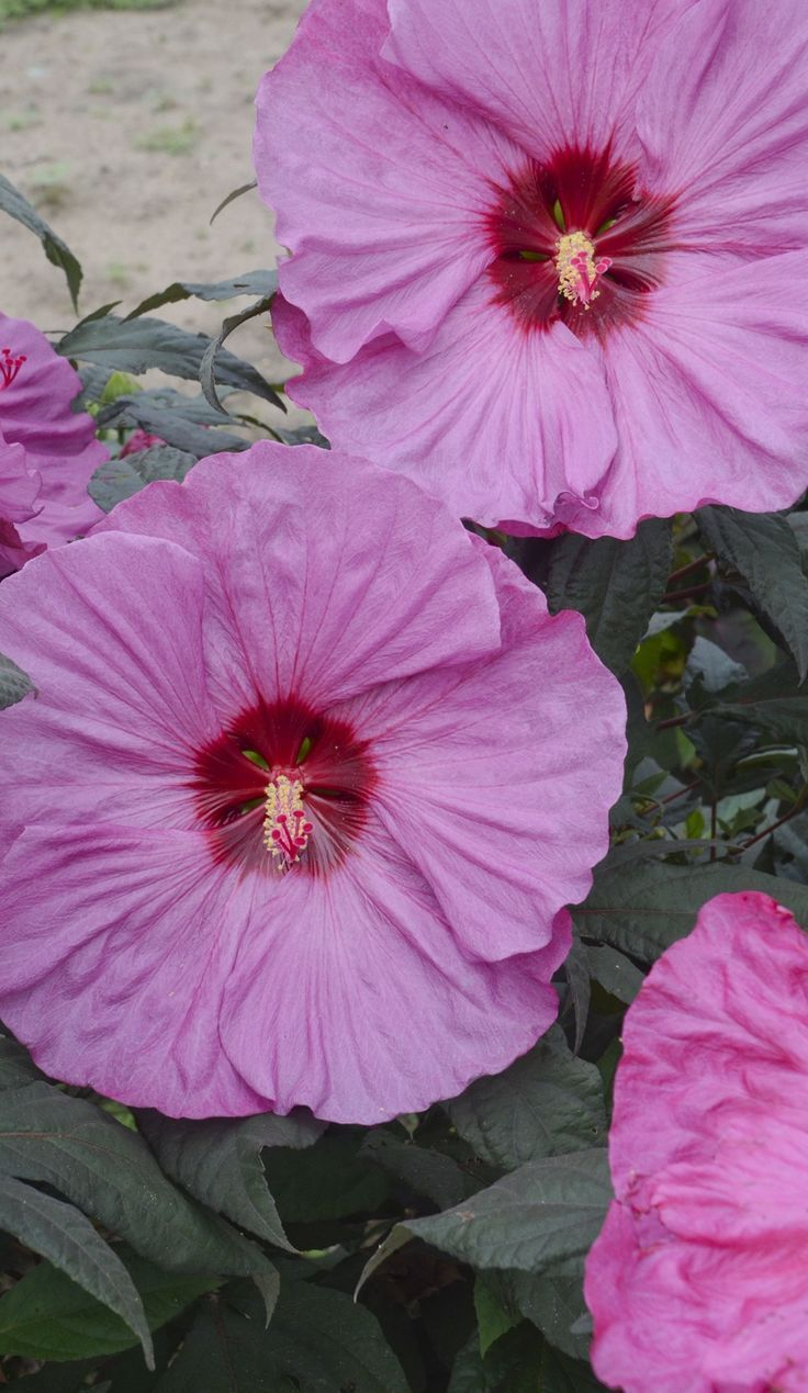 Summerific Berry Awesome Is A Perennial Hibiscus With Huge 7 8 Ruffled Lavender Pink Flowers Cherry Red Eye That Ear I