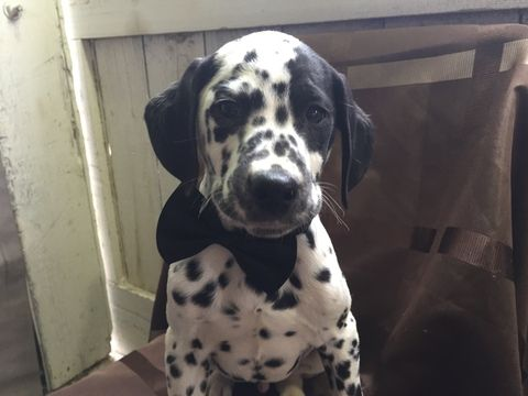 Dalmatian puppy for sale in EAST EARL, PA. ADN-23324 on PuppyFinder.com Gender: Male. Age: 12 Weeks Old